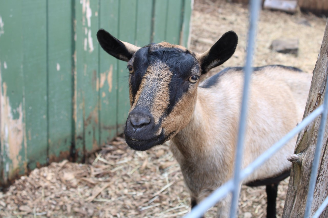 Karabin Farms is home to many farm animals, including goats.